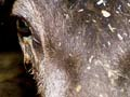 Malignant catarrhal fever in deer