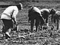 Planting a vineyard in Marlborough, 1973