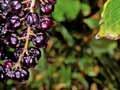 Tutu berries