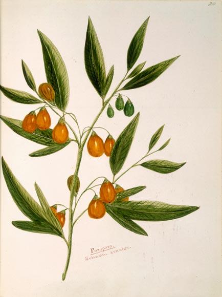 Poroporo plant