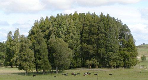 Kahikatea grove