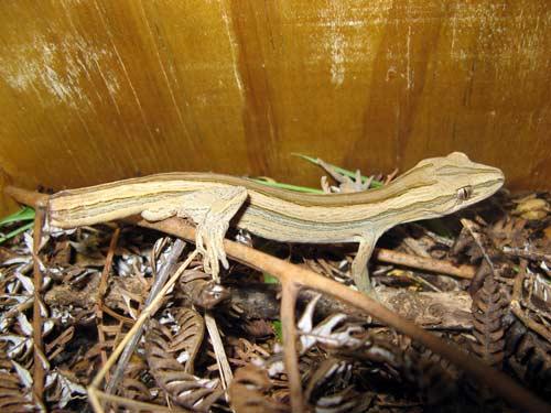 Coromandel fauna: Coromandel striped gecko