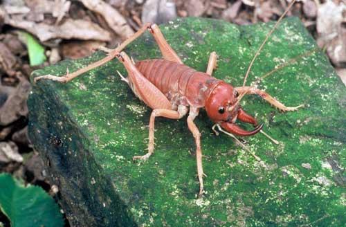 Coromandel fauna: tusked wētā