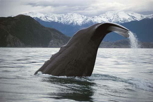 Whales in Kaikōura: sperm whale