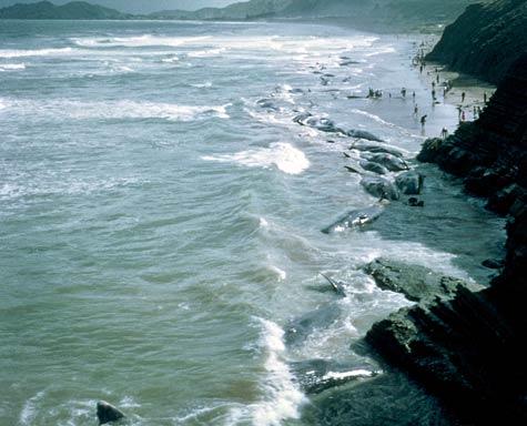 Whale stranding at Wainui Beach