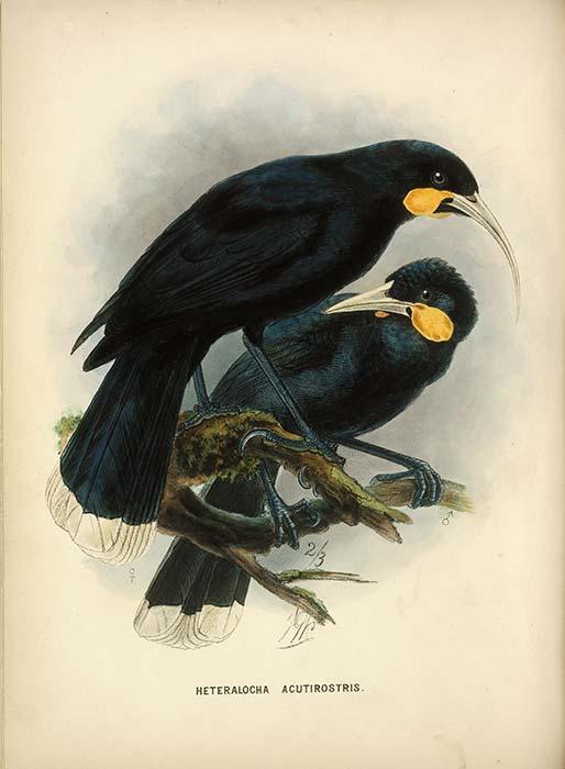 Two of Buller's birds