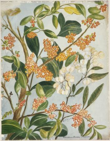 Harris, Emily Cumming 1837?-1925 :Coprosma baueri (taupata). [189-?]