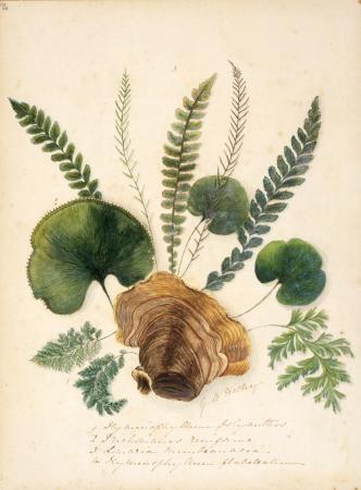 New Zealand ferns, by Georgina Burne Hetley