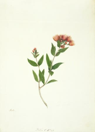 Watercolour of New Zealand rata by Martha King