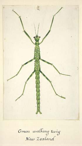 'Green walking twig'