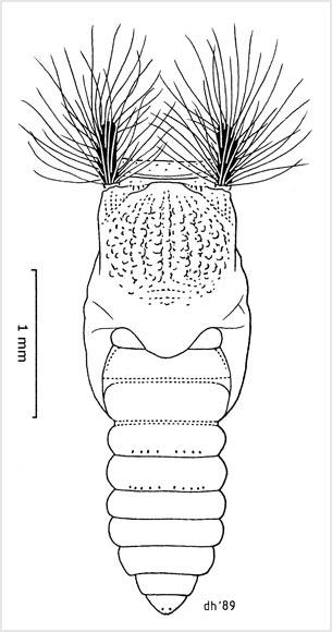 Sandfly pupa