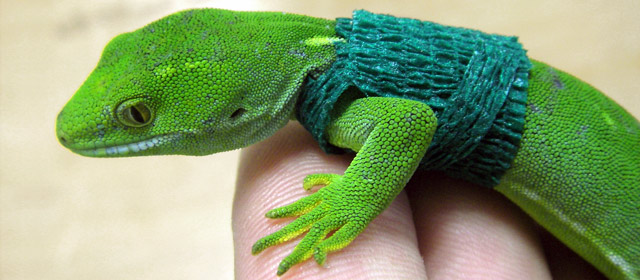 Radio-tagged gecko