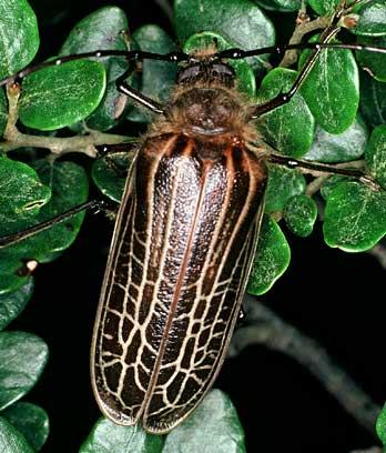 Huhu beetle