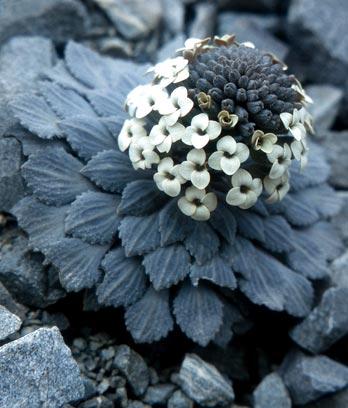 Penwiper plant