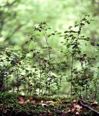 Beech seedlings