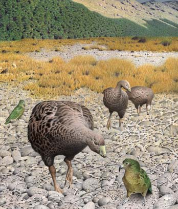 South Island geese