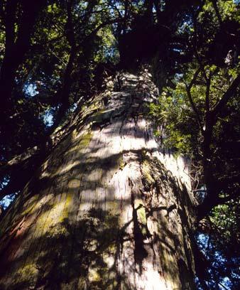 Tōtara tree