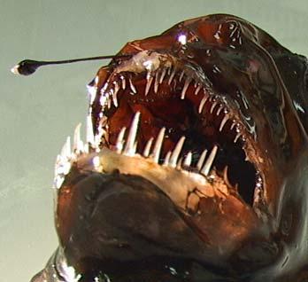 A humpback anglerfish