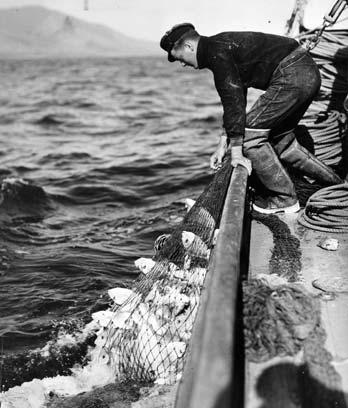 Hauling in snapper, Hauraki Gulf, about 1940