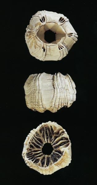 Whale barnacle