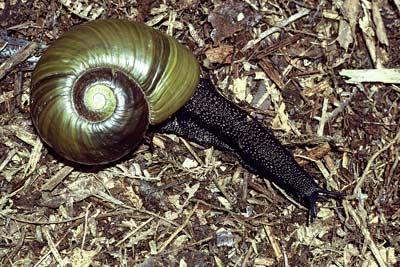 Kauri snail