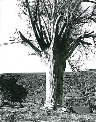 Lone kauri