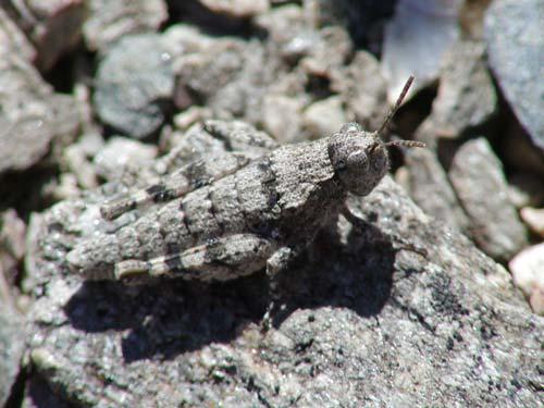 Central Otago grasshopper