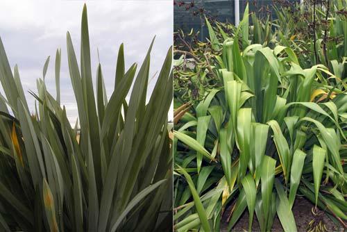 New Zealand flax species