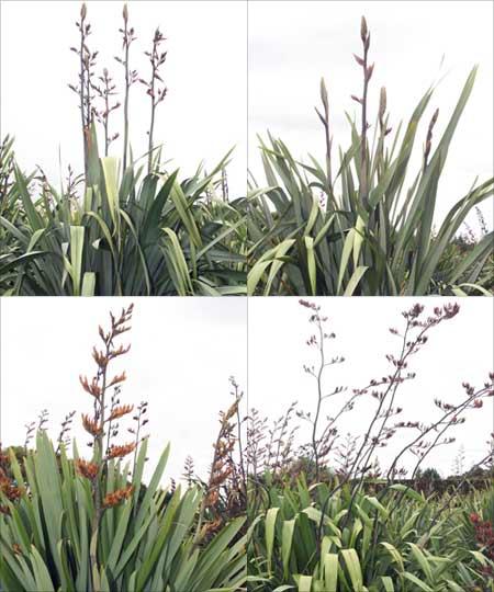 Flax cultivars