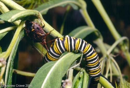 Brown soldier bug