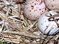 Weka nest and eggs
