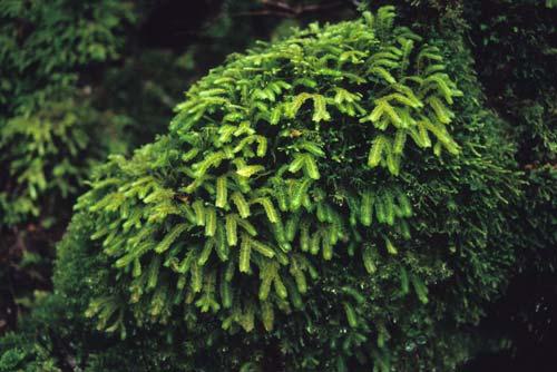 New Zealand's longest liverwort