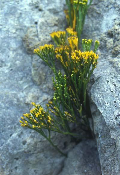Whisk fern
