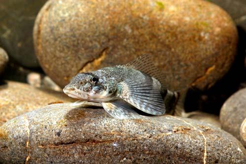 Torrentfish