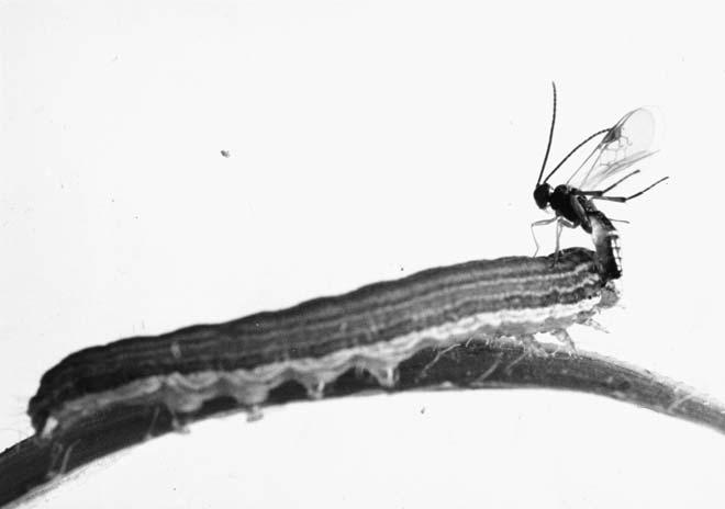 Larva parasite
