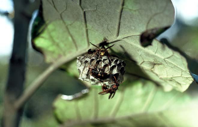 Australian paper wasp nest