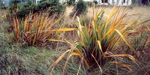 Yellow leaf disease