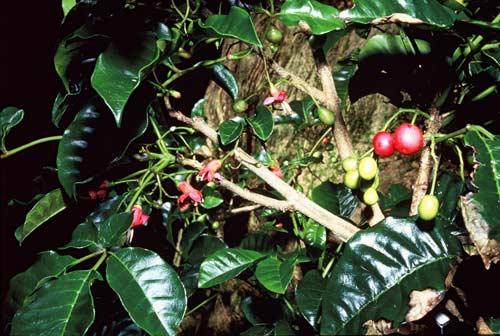 Pūriri berries and flowers