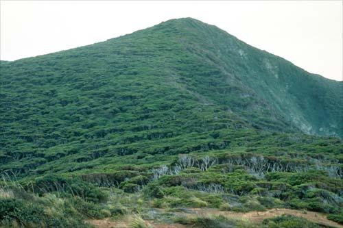 Kānuka forest