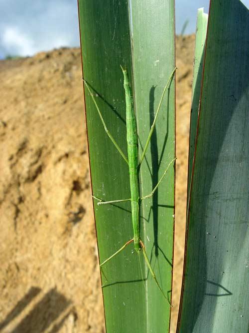 Common tea-tree stick insect