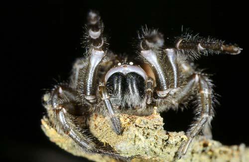 Black tunnel-web spider