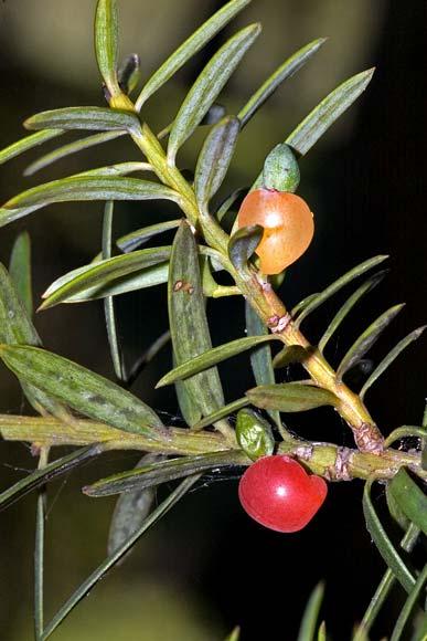 Tōtara seeds and foliage