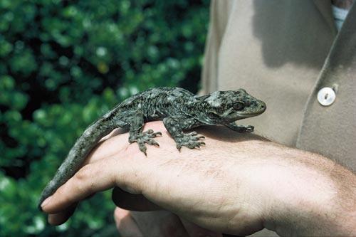 Duvaucel's gecko