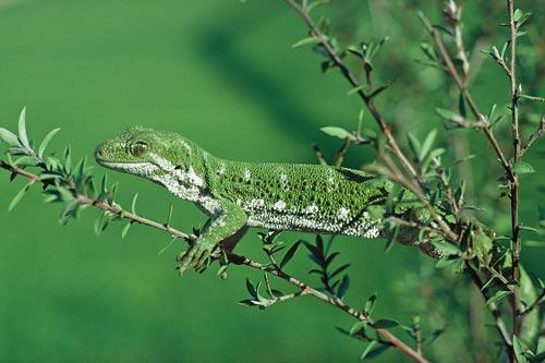 Rough gecko