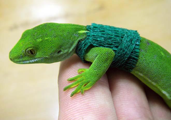 Radio-tagged gecko