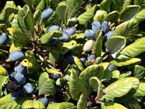 Taraire leaves and berries
