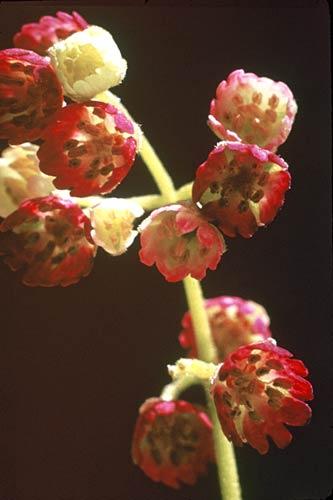 Wineberry in flower