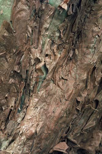 Tree fuchsia bark