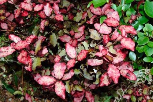 Horopito leaves