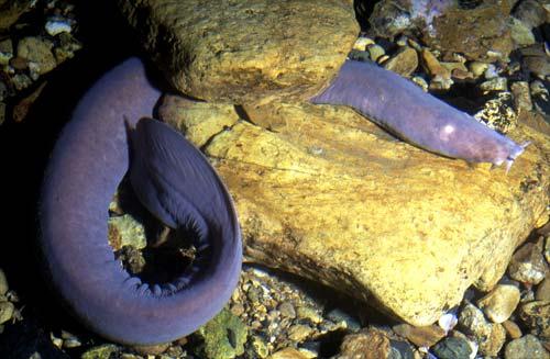 Tuere (hagfish)